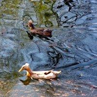 Хохлатые утки :: Александр Чеботарь