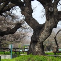 На свете так много деревьев различных :: Гала