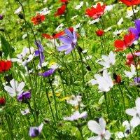 Цветут анемоны :: Гала