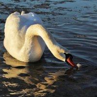 Белый лебедь в январе :: Светлана З