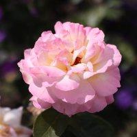 Отцветает роза... :: Irene Irene
