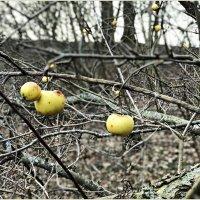 Прошлогодние яблочки. :: Валерия Комова