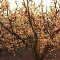 В лучах заходящего солнца  пою тебе гимны весна.. :: Гала