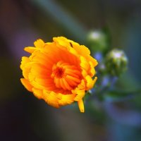 Цветок :: Штрек Надежда