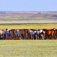 Табуны лошадей на Танабае. :: Штрек Надежда