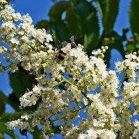 Белые цветы :: Алла Рыженко