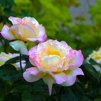 Розы :: Валентин Семчишин