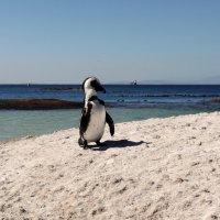 Пингвин в Кейптауне :: Зуев Геннадий