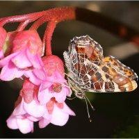 Фриз с бабочкой :: ZNatasha -
