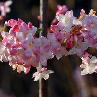 Раннее цветение :: Nina Streapan