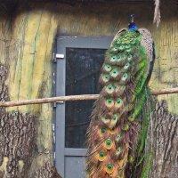 Крылья, ноги... ХВОСТЫ - вот наше украшение! :: Тамара Бедай