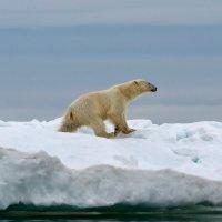 Международный день белого медведя :: slavado
