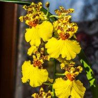 """Орхидея онцидиум """"Танцующие куколки"""", словно танцующие барышни в пышных юбочках) :: Николай Зиновьев"""