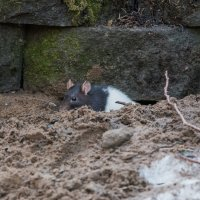 Декоративная крыса. :: Виктор Евстратов