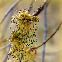 Когда клён цветёт. :: nadyasilyuk Вознюк