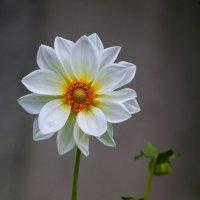 Белое солнышко... :: Сергей Черных
