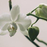 Орхидея :: Наталья Преснякова
