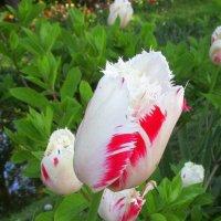 Нежный тюльпан :: Ольга Довженко