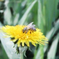 Пчела :: Яна Калтурова
