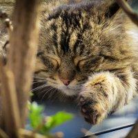 Из жизни мартовских котов :: SVetlana Veter