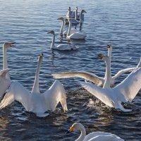 балет на озере :: Виктор Ковчин