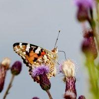 опять про бабочек...88 :: Александр Прокудин