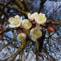 Абрикоса цветёт :: вячеслав коломойцев