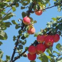 Мечтаем о яблоках :: Фотогруппа Весна-Вера,Саша,Натан