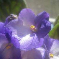 Моя фиалка радуется весне :: Елена Семигина