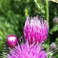 Цветы Хубсугула :: lyalla k