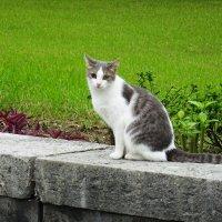 Кошка, которая гуляет сама по себе :: Татьяна Р