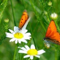 и снова бабочки 13 :: Александр Прокудин