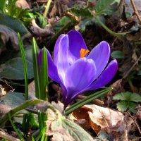 Цветок крокуса :: Андрей Снегерёв