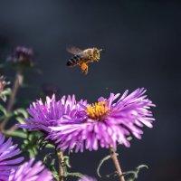 Пчелкины хлопоты :: Наталья Димова