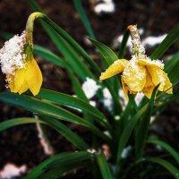 Нарцисс и снег Вариант №2 :: Сергей