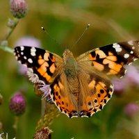 и снова бабочки 35 :: Александр Прокудин