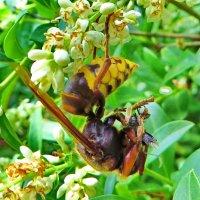 .  Шершень.  .Для прокорма личинок ловят мух, пчёл, нередко атакуют ос помельче :: ivan