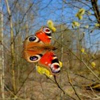и снова бабочки 39 (мартовские) :: Александр Прокудин