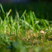 Трава и гриб :: Александр Синдерёв