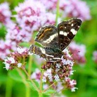и снова бабочки 48 :: Александр Прокудин