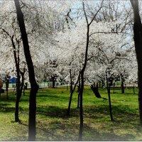 Поймать цветение весны :: Людмила