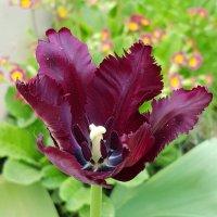 Тюльпаны нашего сада! Тюльпан Black Parrot (попугайный) :: Генрих
