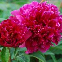мои цветочки - марьин корень :: Александр
