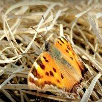 и снова бабочки 64 (Многоцветница чёрно-рыжая) :: Александр Прокудин