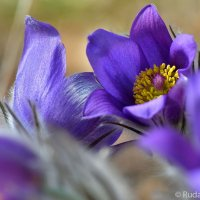 Тихий шепот весны :: Сергей