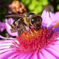 Макро пчелы на сентябринке :: Лидия Бараблина