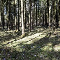 Весенний лес :: Нина Синица