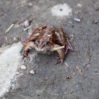 Шуваловская жаба :: Руслан Лиманский