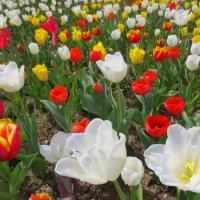 Парад тюльпанов) :: Эля Юрасова