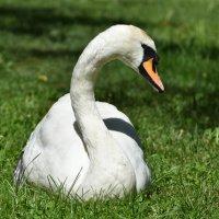 Белый лебедь... :: Наташа *****
